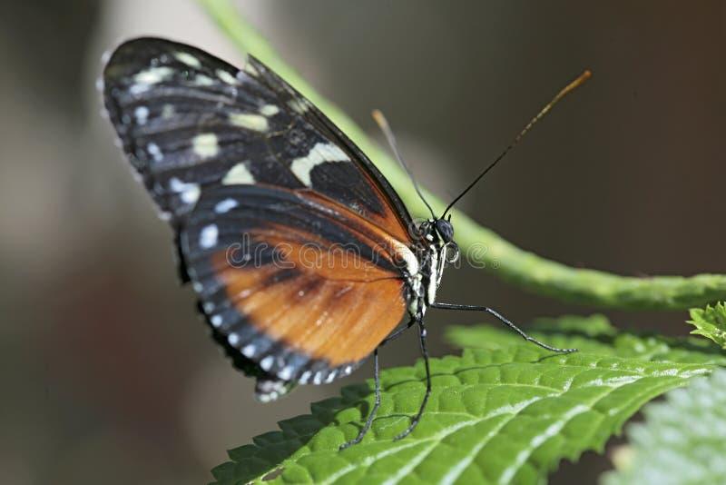 Primer de la mariposa imagen de archivo