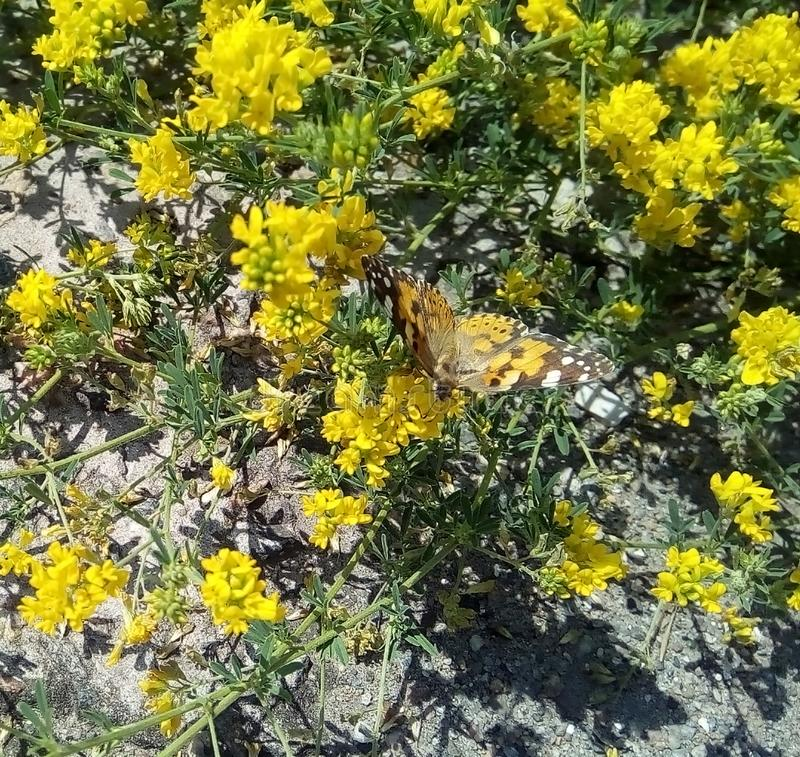 Primer de la mariposa de la bardana en pequeños wildflowers amarillos imagenes de archivo