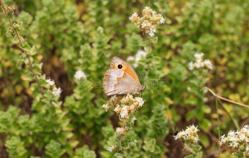 Primer de la mariposa en la flor imagen de archivo