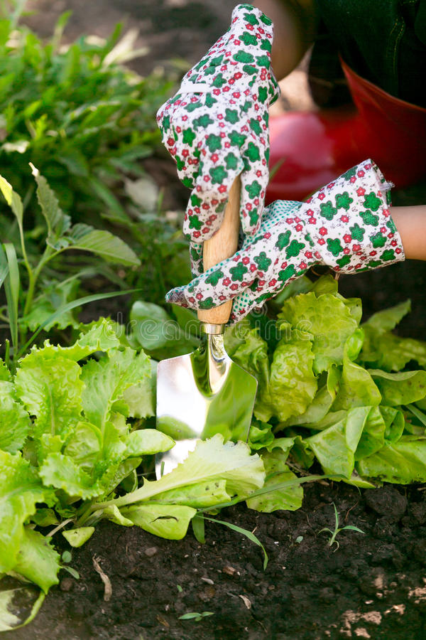 Primer de la mujer que trabaja en el jardín en cama orgánica fresca de la lechuga fotografía de archivo libre de regalías