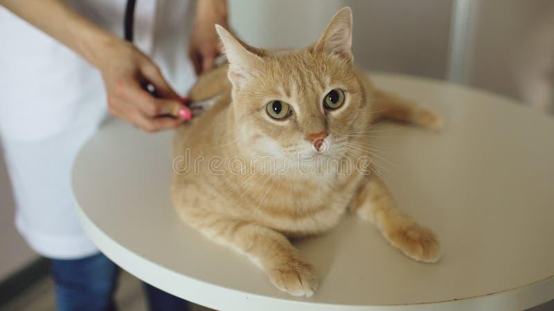 Primer de la mujer veterinaria con el gato de examen del estetoscopio en oficina médica del veterinario fotografía de archivo
