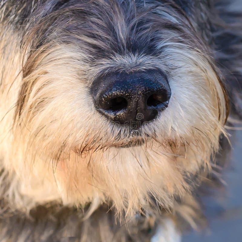 Primer de la nariz de perro fotografía de archivo libre de regalías