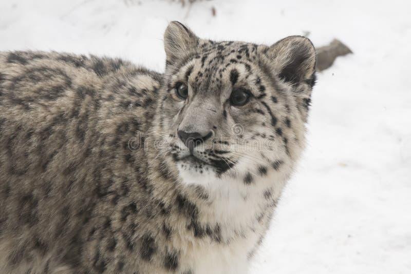 Primer de la onza Cub contra fondo de la nieve foto de archivo libre de regalías