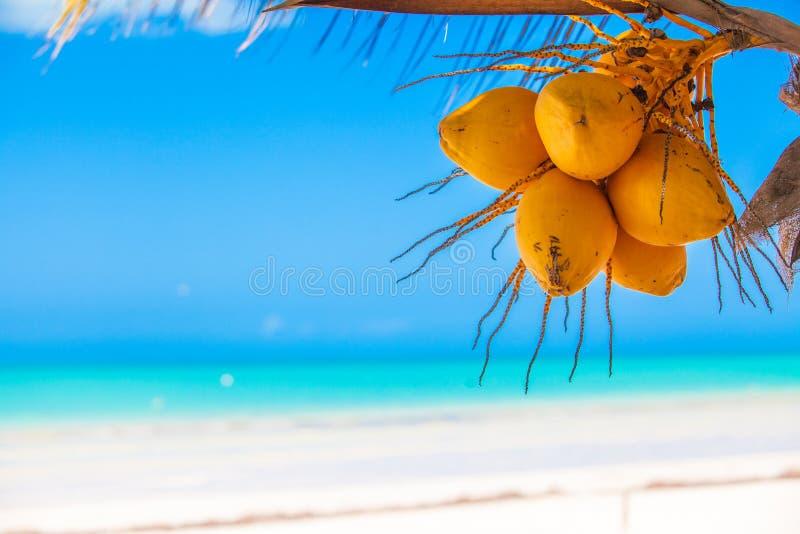 Primer de la palmera tropical con el coco amarillo foto de archivo