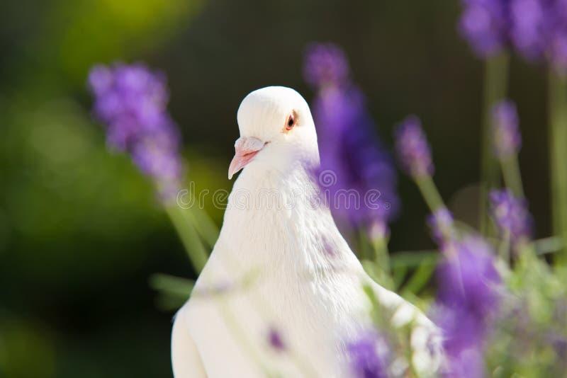 Primer de la paloma del blanco fotos de archivo