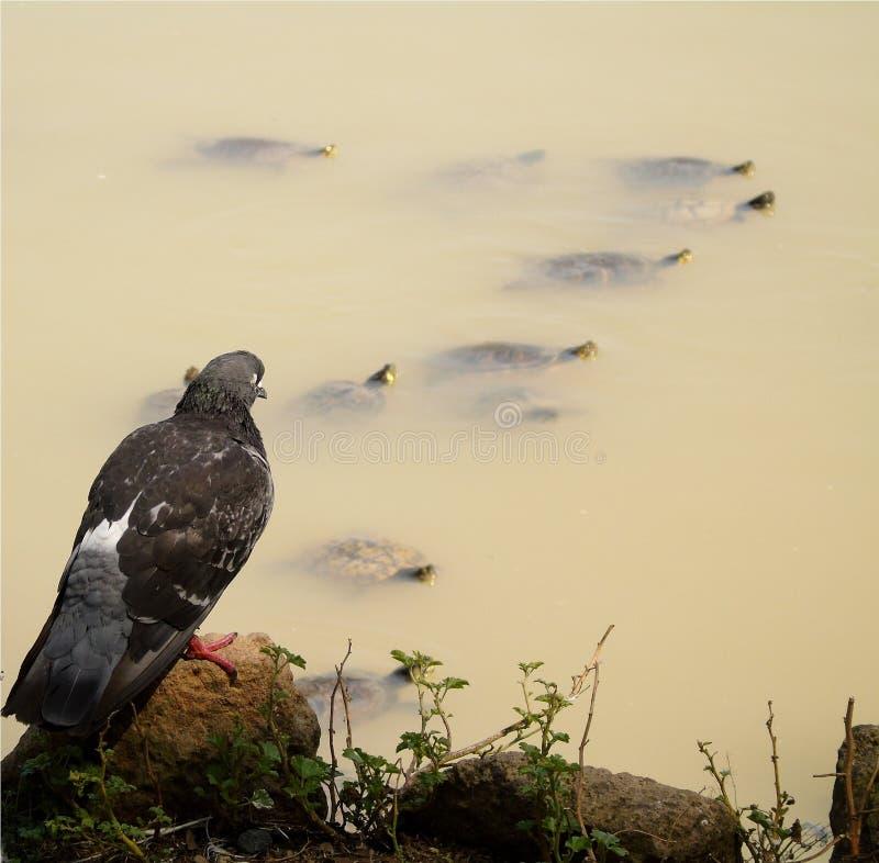 Primer de la paloma gris y blanca con los ojos marrones grandes, en fondo del lago con las tortugas de la tierra que nadan foto de archivo libre de regalías
