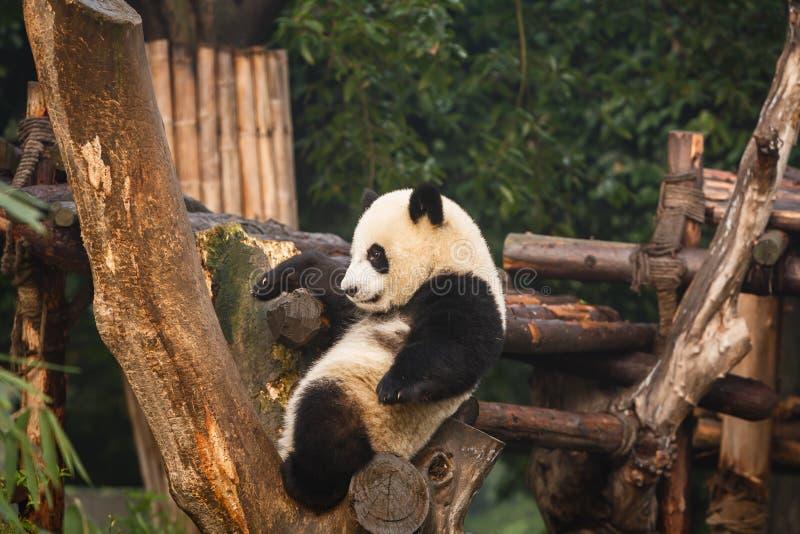 Primer de la panda joven que se sienta en árbol foto de archivo libre de regalías