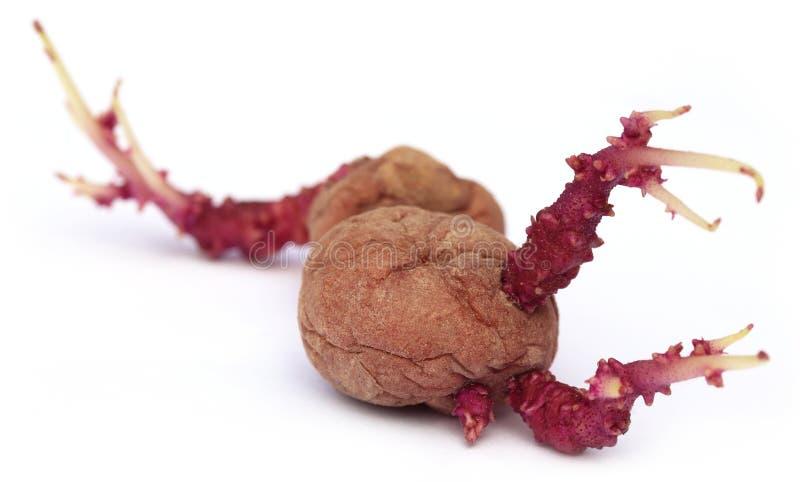 Primer de la patata que germina foto de archivo