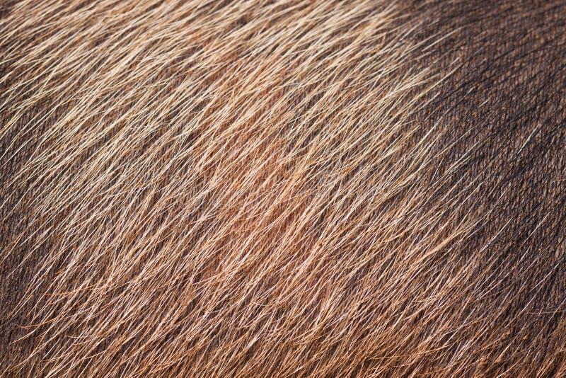 Primer de la piel y del pelo de cerdo fotografía de archivo