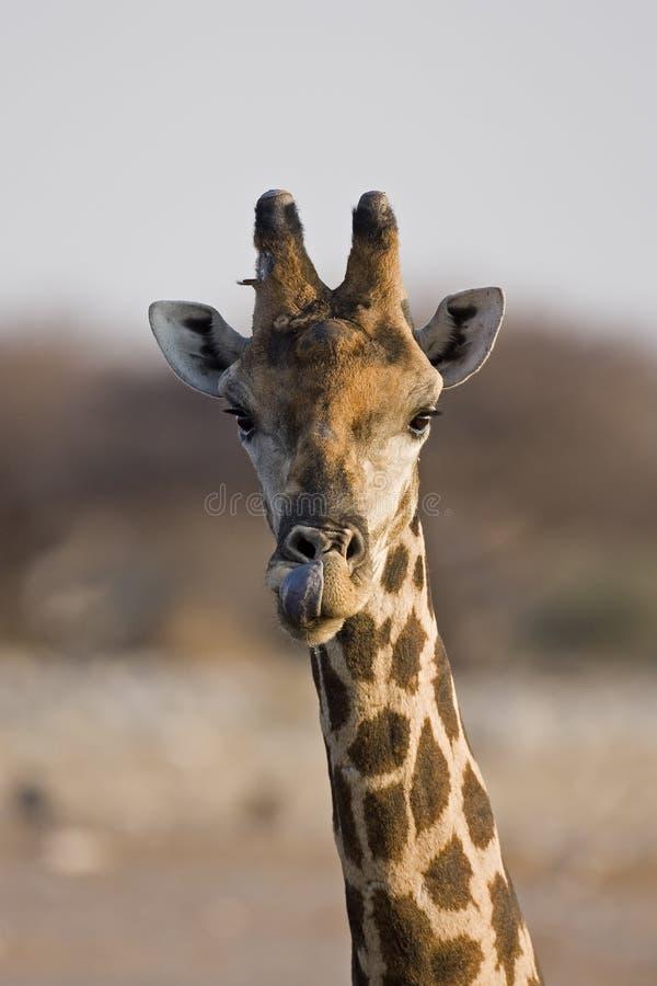 Primer de la pista y del cuello de la jirafa imágenes de archivo libres de regalías