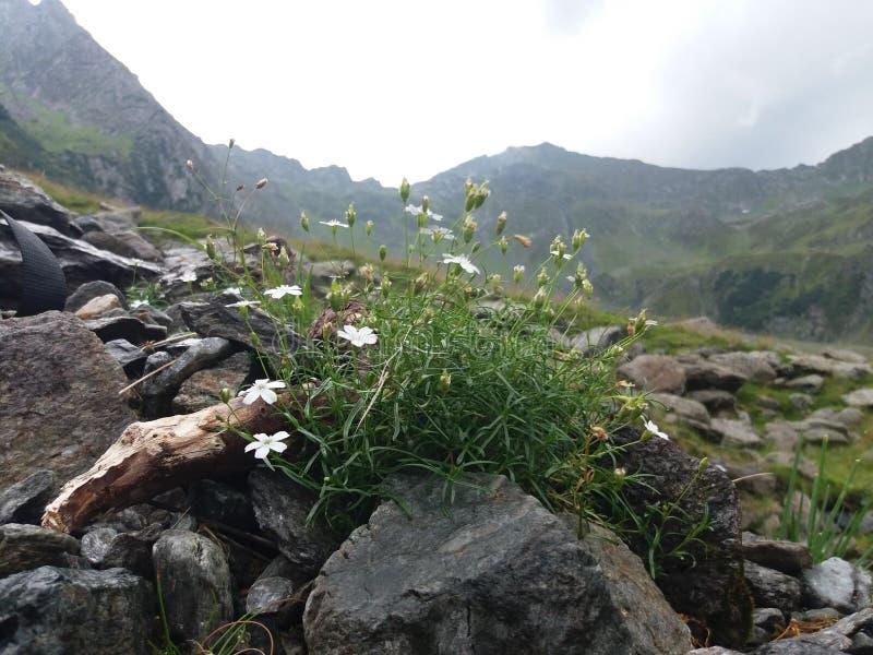 Primer de la planta con las flores blancas en superficie rocosa foto de archivo