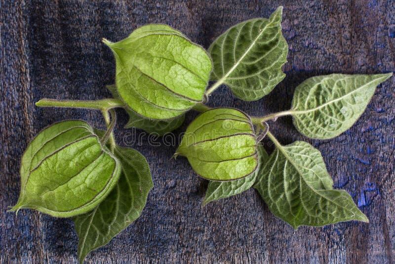 Primer de la planta del peruviana del Physalis foto de archivo