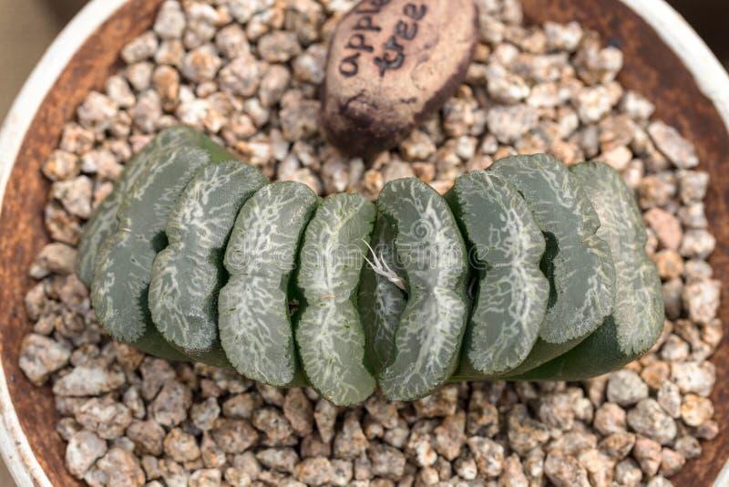 Primer de la planta suculenta imagen de archivo