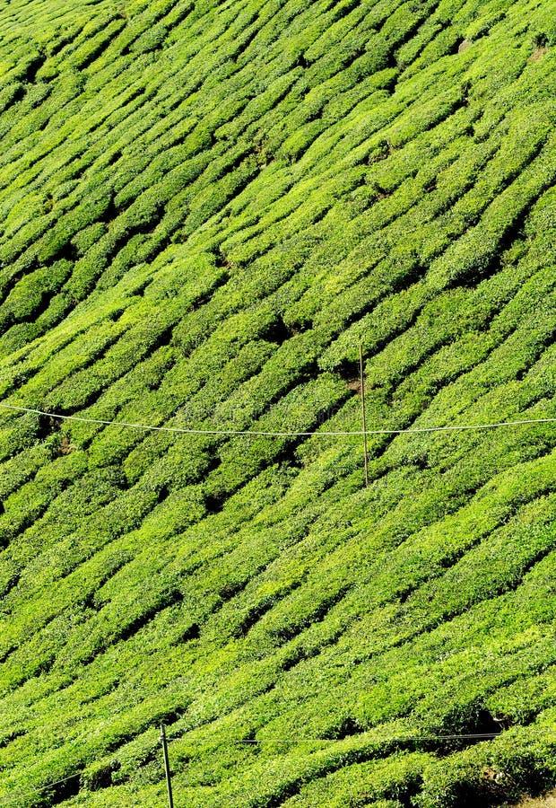 Primer de la plantación de té imagen de archivo libre de regalías