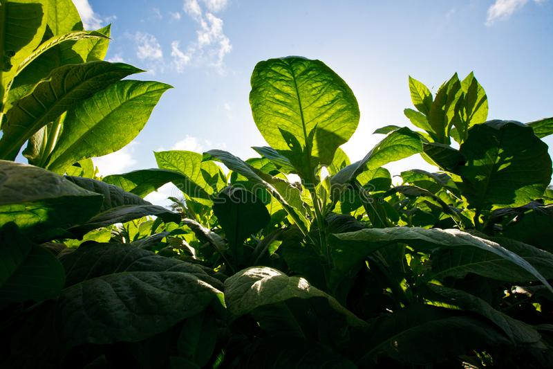 Primer de la plantación del tabaco fotografía de archivo