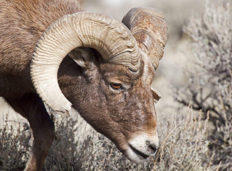 Primer de la RAM grande de las ovejas del claxon fotografía de archivo