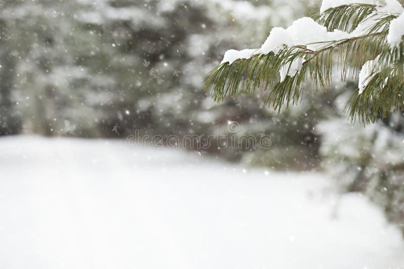 Primer de la rama de árbol de abeto contra nieve que cae imagen de archivo libre de regalías