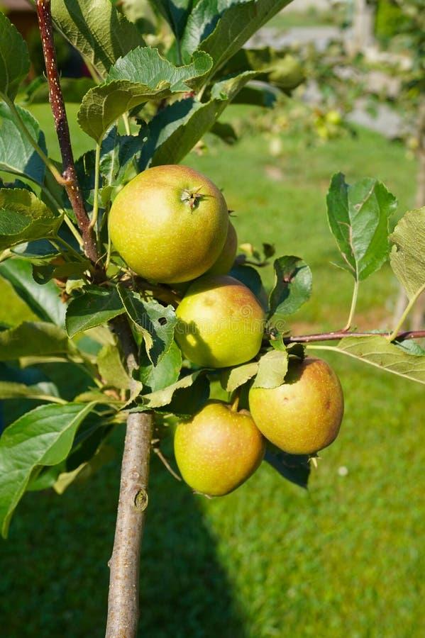 Primer de la rama de Apple con el primer maduro de las manzanas en los rayos del sol imagen de archivo