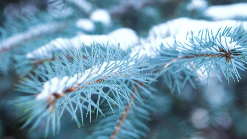 Primer de la rama azul de la picea con nieve Árbol imperecedero cubierto con nieve en invierno Primer de agujas agudas agraciadas foto de archivo