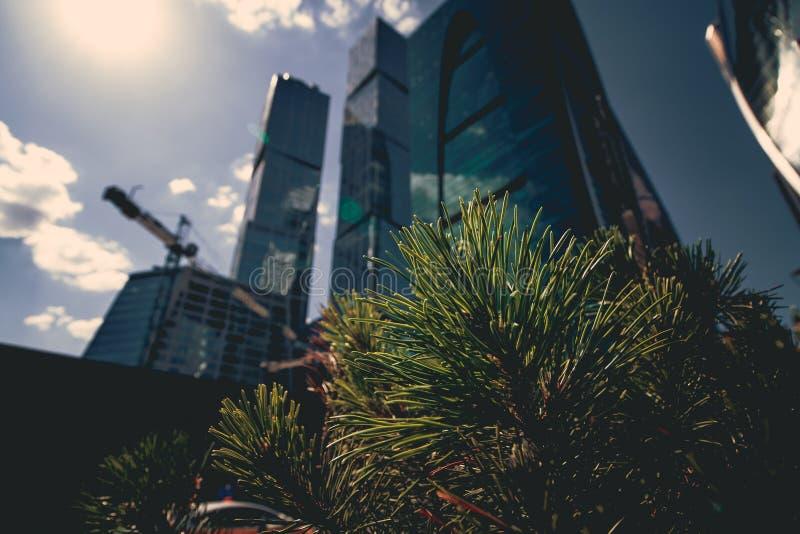 Primer de la rama del pino en el fondo de rascacielos modernos fotos de archivo