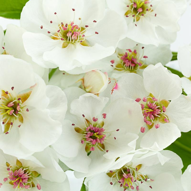Primer de la rama de la floración de la pera en blanco imagen de archivo