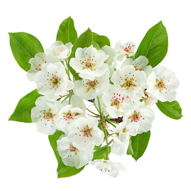 Primer de la rama de la floración de la pera en blanco imágenes de archivo libres de regalías