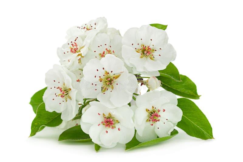 Primer de la rama de la floración de la pera en blanco fotografía de archivo libre de regalías