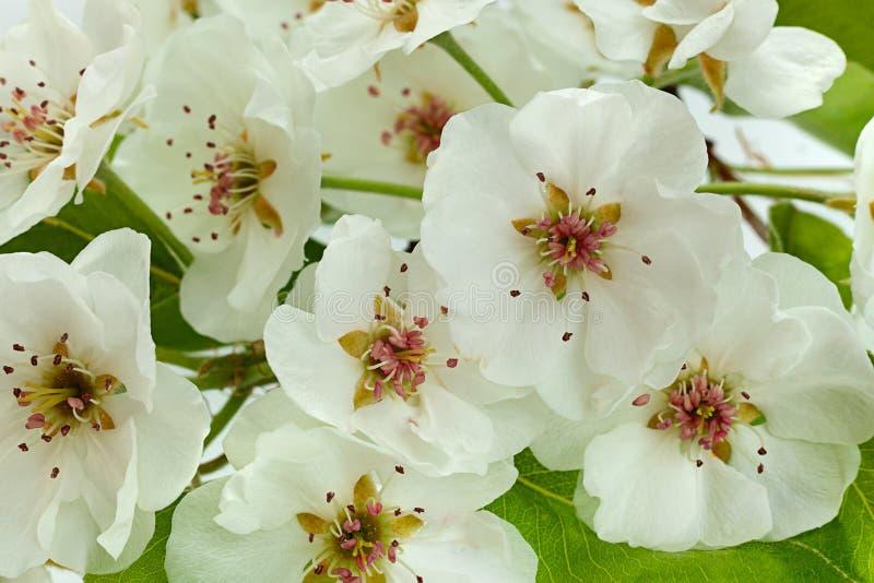 Primer de la rama de la floración de la pera en blanco fotos de archivo libres de regalías