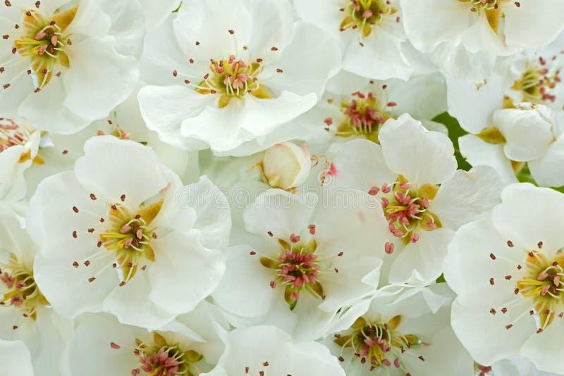 Primer de la rama de la floraci?n de la pera en blanco imagen de archivo