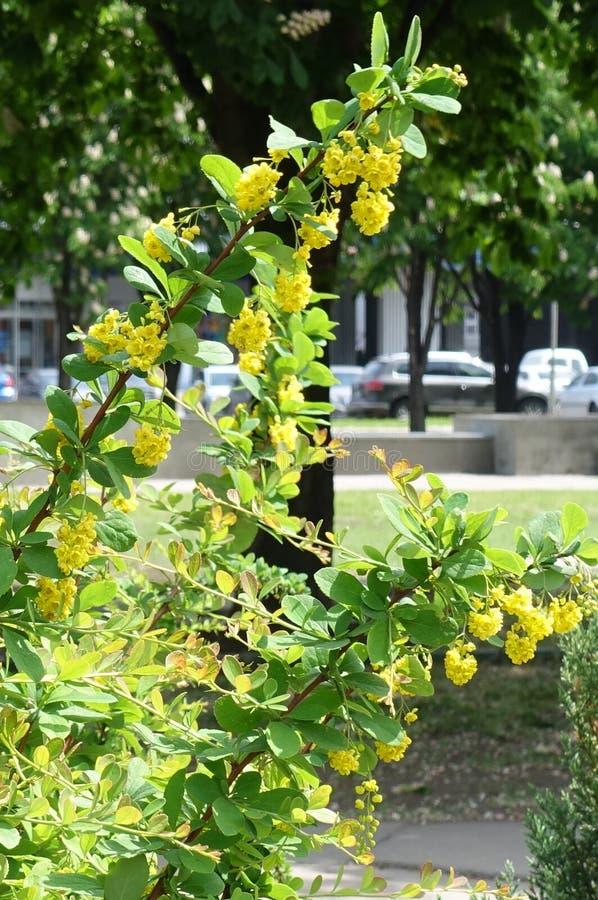 Primer de la rama floreciente del Berberis imagen de archivo libre de regalías