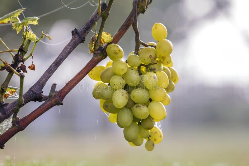 Primer de la rama de la vid con las hojas verdes y el racimo maduro amarillo de oro aislado de la uva encendidos por el sol brill fotografía de archivo