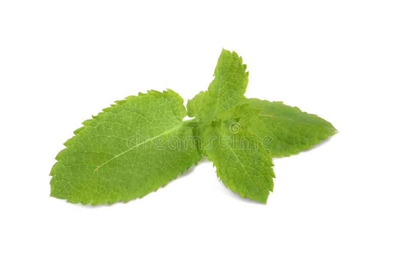 Primer de la ramita brillante fresca de la menta aislada en el fondo blanco Menta verde colorida para los cócteles y las bebidas  foto de archivo libre de regalías