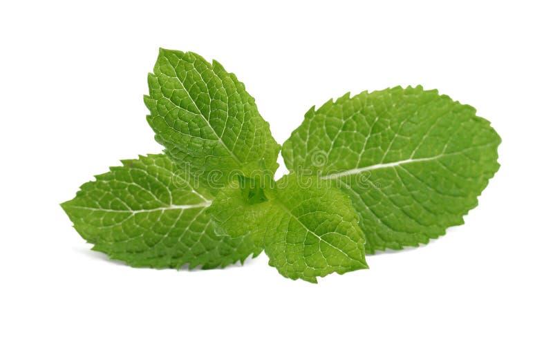Primer de la ramita fragante fresca de la menta aislada en el fondo blanco Menta verde clara para los cócteles y las bebidas del  foto de archivo