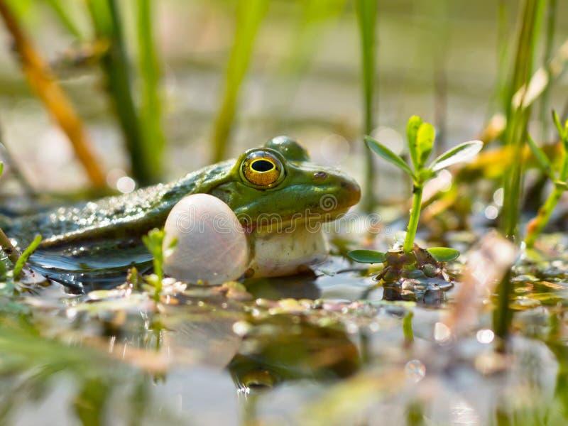 Primer de la rana comestible masculina fotografía de archivo libre de regalías