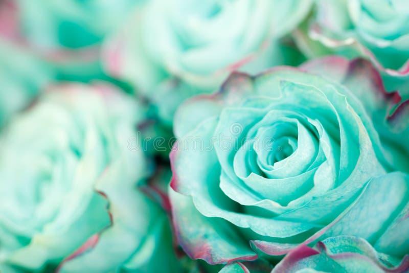 Primer de la rosa azul azul del pastel de la turquesa Fondo floral fotos de archivo