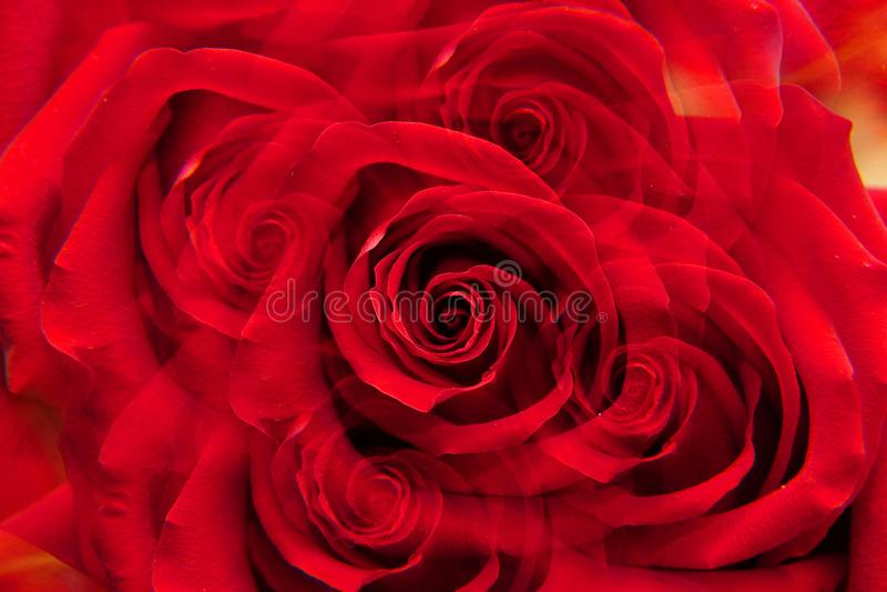 Primer de la rosa caucásica del rojo fotos de archivo