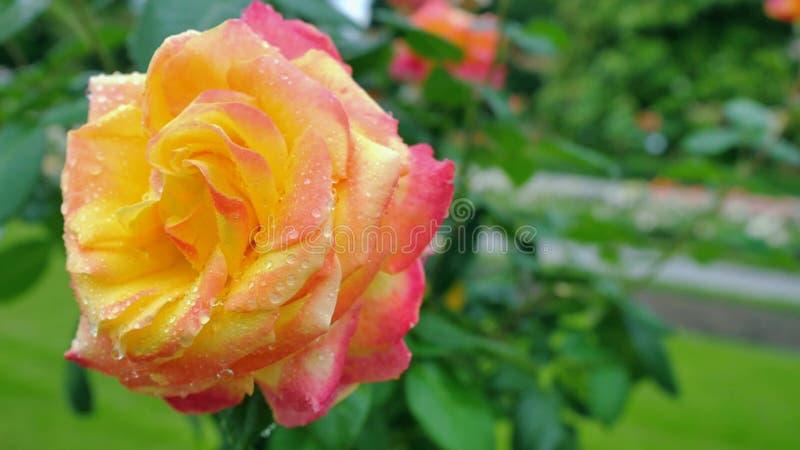 Primer de la rosa del amarillo en un fondo verde imagen de archivo libre de regalías