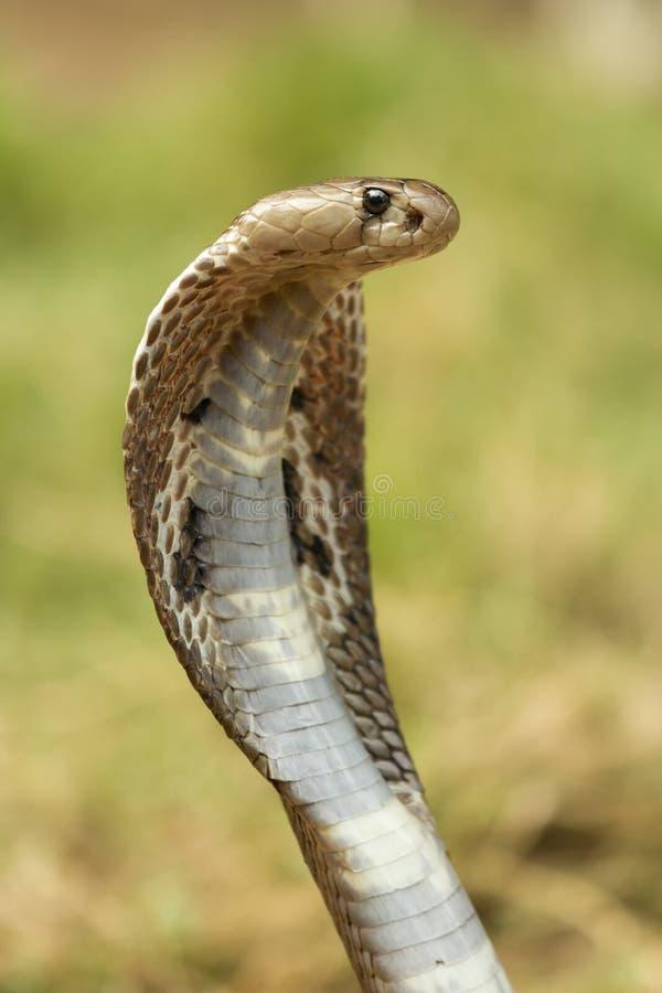 Primer de la serpiente de la cobra imagenes de archivo