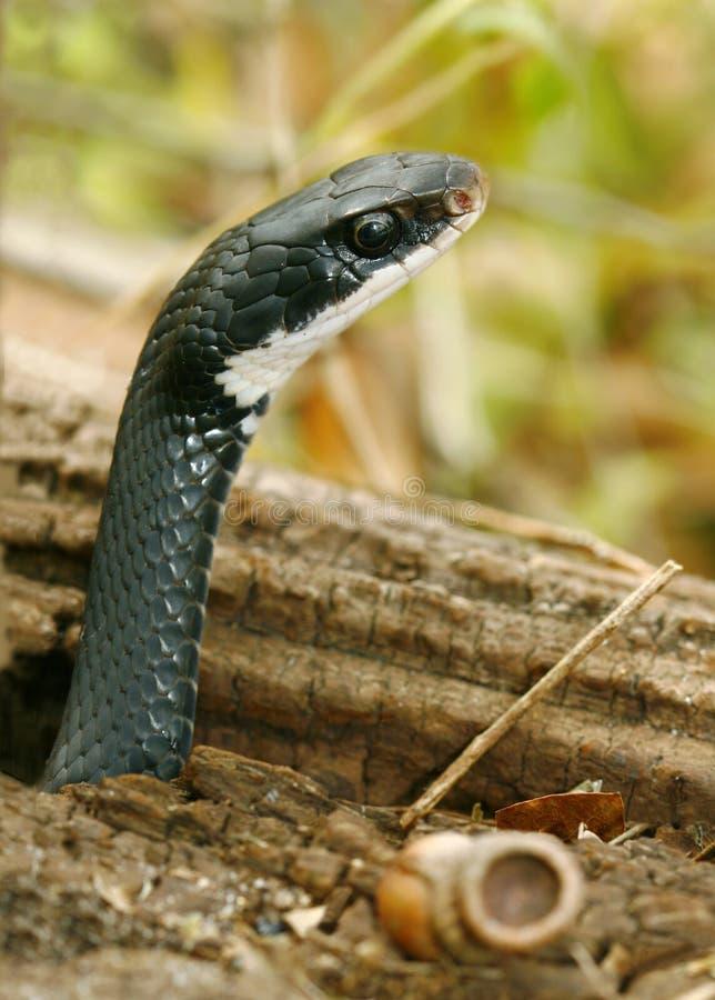 Primer de la serpiente del corredor negro que sale del agujero fotos de archivo