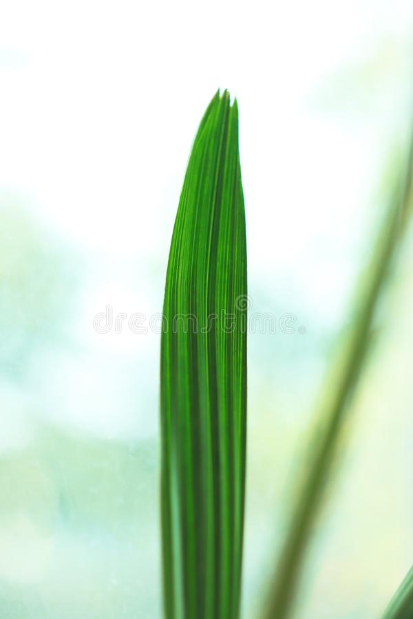 Primer de la sola hoja de palma verde brillante de la fecha en fondo ligero Naturaleza tropical Copie el espacio imagenes de archivo
