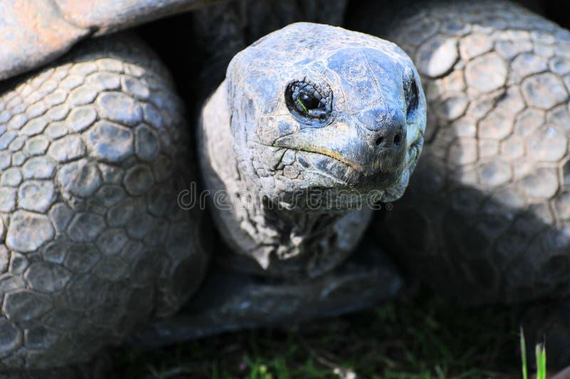 Primer de la tortuga gigante foto de archivo