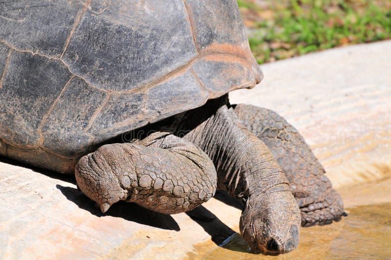 Primer de la tortuga que bebe en la piscina de agua imagen de archivo