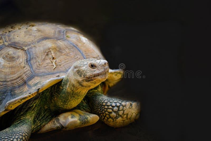 Primer de la tortuga de Sulcata del gigante foto de archivo libre de regalías