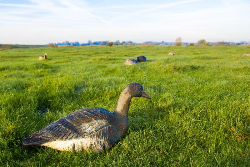 Primer de la trampa de la caza del ganso de ganso silvestre fotos de archivo