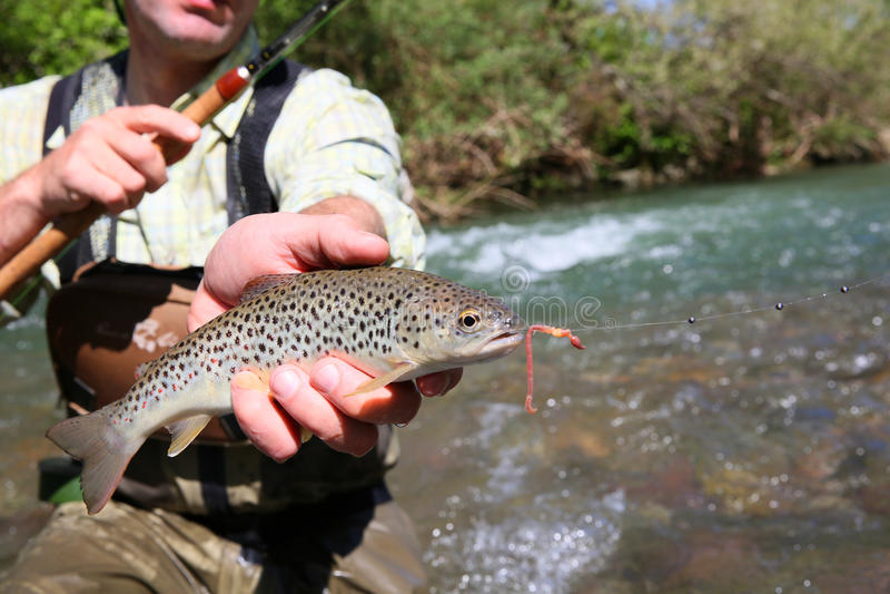 Primer de la trucha recién pescada foto de archivo