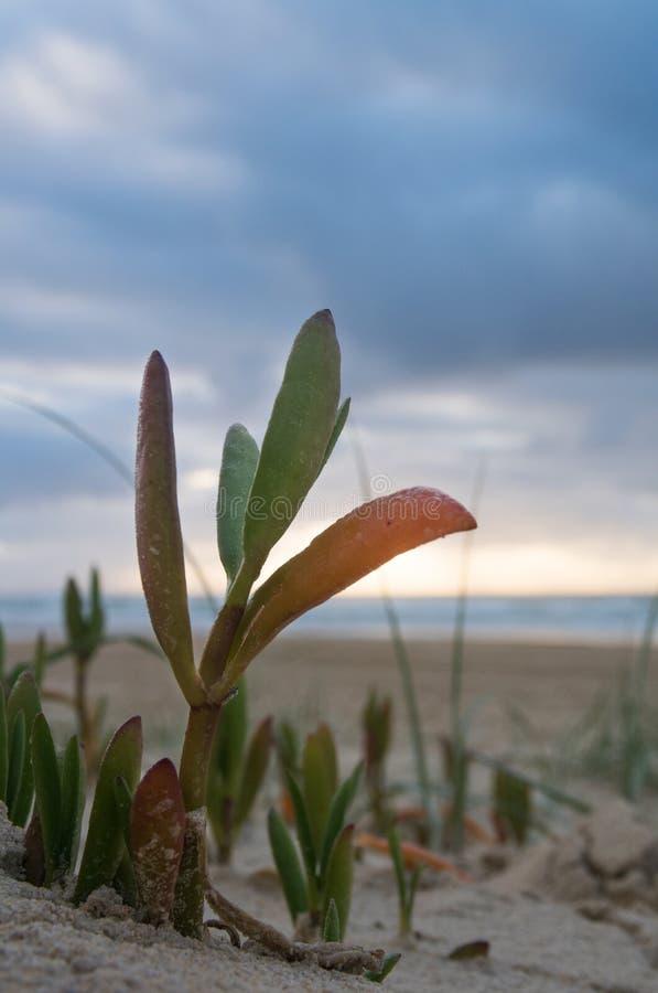 Primer de la vegetación en la playa en la isla de fraser famosa foto de archivo