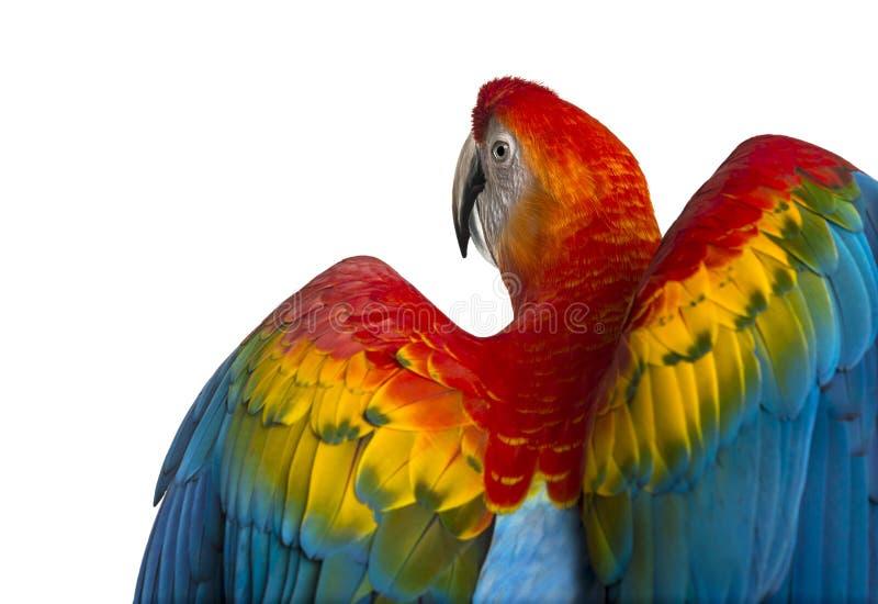 Primer de la vista posterior de un Macaw del escarlata sus alas desplegadas (4 años fotos de archivo