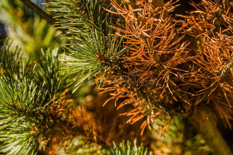 Primer de las agujas del pino marrón fotos de archivo libres de regalías