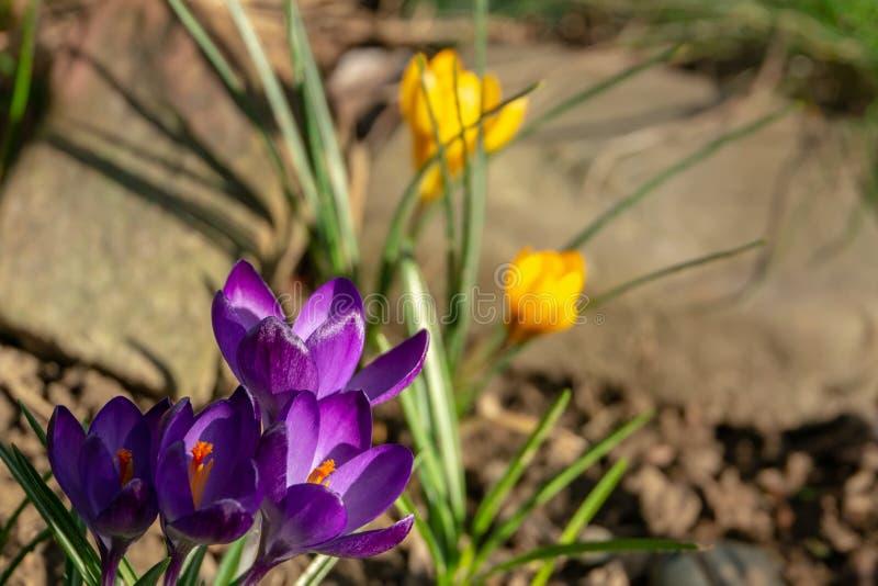 Primer de las azafranes azul-violetas profundas Ruby Giant en azafranes amarillas borrosas y fondo de piedra grande Foco selectiv foto de archivo libre de regalías