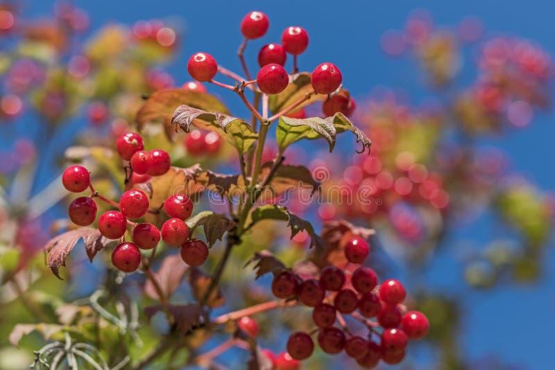 Primer de las bayas rojas de la guelder-rosa madura brillante con el fondo del cielo azul fotografía de archivo